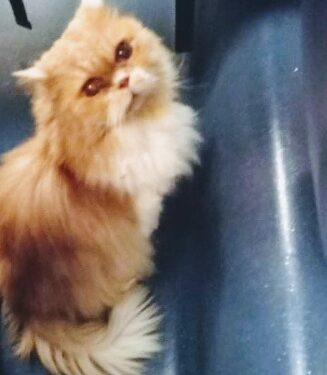 Grisù, il gatto cacciato da un treno: è tornato a casa