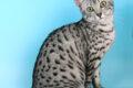 Qual è il gatto più bello del mondo? È il Mau Egiziano